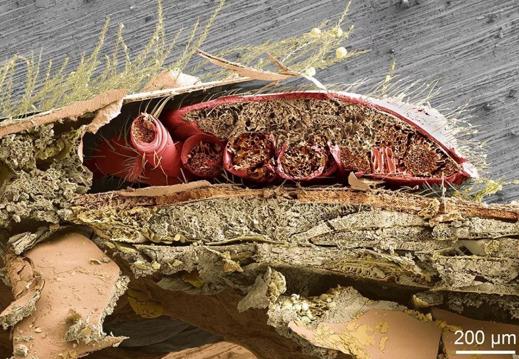 Varroa karın halkaları arasında beslenirken